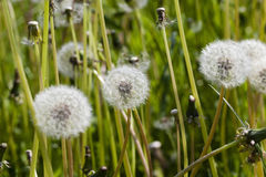 White fluffy dandelions in the meadow Stock Photos