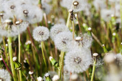 White fluffy dandelions in the meadow Royalty Free Stock Photography