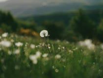 White fluffy dandelion stock photos