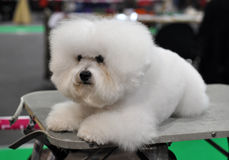 White fluffy dog ​​Bichon Frise. Beautiful snow-white fluffy dog ​​Bichon Frise. Сurly lap dog, is a small breed of dog of the royalty free stock photo