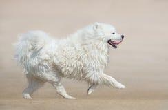 White fluffy dog of breed Samoyed dog running on beach. Royalty Free Stock Image