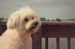 White fluffy dog looking. A cute white fluffy dog looking attentively at its owner or friend royalty free stock images