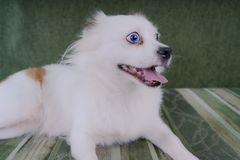Cool white fluffy dog resting on a green sofa. German Spitz with blue eyes. White fluffy dog lying on the couch and very wary looking to the side Stock Photos