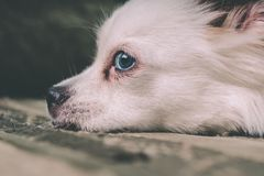 White fluffy dog lying on the couch and very wary looking to the side royalty free stock images
