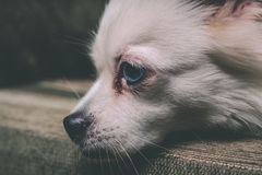 Cool white fluffy dog resting on a green sofa. German Spitz with blue eyes. White fluffy dog lying on the couch and very wary looking to the siden Stock Image