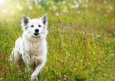 White fluffy dog runs. Across the field Stock Images
