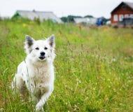 White fluffy dog runs across the field Royalty Free Stock Photo