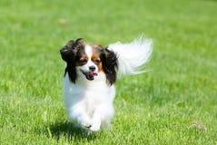 White fluffy dog runs on a green grass. Phalen is walking on the street. stock image