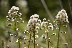 White fluffy dry plants Royalty Free Stock Photos