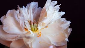 White fluffy fading peony, romantic decadence concept royalty free stock image