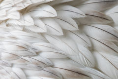 White fluffy feather closeup Stock Images