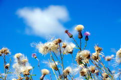 White and fluffy flower on a blue background. White and fluffy flower on a sky background stock photos