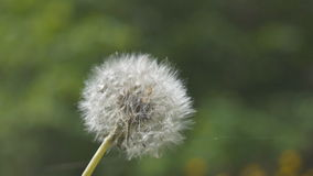 White fluffy flower dandelion in the summer stock video footage