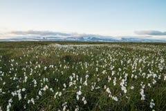 White fluffy flower field Stock Photos