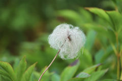 White fluffy flower. On a natural green meadow background. A gentle weightless fluffy round flower ball Stock Photos