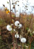 White fluffy flower in pastel colors in late autumn stock photo
