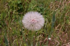 White fluffy flower Tragopogon dubius ,yellow salsify, wild oysterplant, goat s beard ,in a field . Blurred background Royalty Free Stock Photo