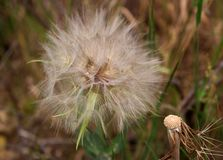 White fluffy flower Tragopogon dubius ,yellow salsify, wild oysterplant, goat s beard ,in a field . Blurred background Royalty Free Stock Image