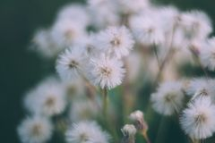 White fluffy flowers butterweed, horseweed, erigeron canadensis, canadian fleabane, conyza canadensis, colts-tail on a royalty free stock images