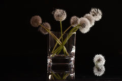 White fluffy flowers dandelions in a glass on a black background. Delicate weightless fluff Stock Image