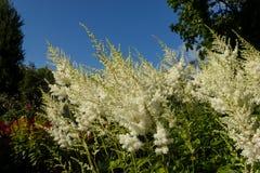 White fluffy flowers in the garden Stock Images