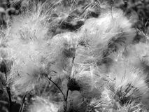 White fluffy fuzz meadow thistles on a black and white photo. Close up Stock Photos