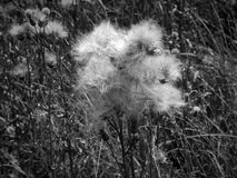 White fluffy fuzz meadow thistles on a black and white photo. Close up Royalty Free Stock Images