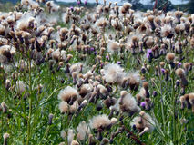 White fluffy fuzz meadow thistles. Close up Royalty Free Stock Images
