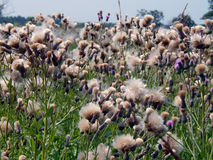 White fluffy fuzz meadow thistles. Close up Stock Photography