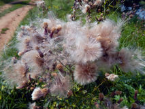 White fluffy fuzz meadow thistles. Close up Stock Photo