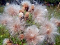 White fluffy fuzz meadow thistles. Close-up Royalty Free Stock Images