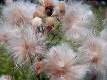 White fluffy fuzz meadow thistles. Close-up Stock Photo