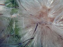 White fluffy fuzz meadow thistles. Close-up Royalty Free Stock Image