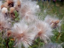 White fluffy fuzz meadow thistles. Close-up Stock Photography