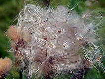 White fluffy fuzz meadow thistles. Close-up Stock Images