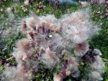 White fluffy fuzz meadow thistles. Close-up Royalty Free Stock Photography