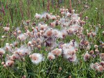 White fluffy fuzz meadow thistles. Close-up Stock Image