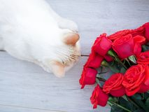 White fluffy house cat and a bouquet of roses , on wooden background, space for text Royalty Free Stock Photos