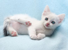 White fluffy kitten lies on blue Royalty Free Stock Photo