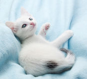 White fluffy kitten lies on blue Royalty Free Stock Image