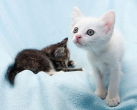 White fluffy kitten looking curiously at blue Royalty Free Stock Image