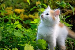 White fluffy kitten looking up, the surrounding background grass Royalty Free Stock Image