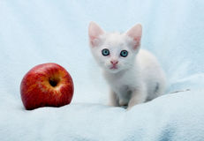 White fluffy kitten near an apple on blue Royalty Free Stock Photography