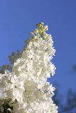 White fluffy lilac Royalty Free Stock Images