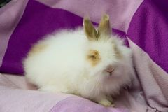 White fluffy little bunny on the purple Royalty Free Stock Images