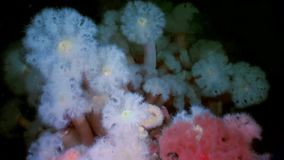 White fluffy metridium underwater on seabed of White Sea. Unique video close up. Flowers of marine life in clean clear pure and transparent water in search of stock footage