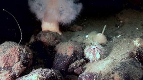 White fluffy metridium and urchin underwater on seabed of White Sea. Unique video close up. Flowers of marine life in clean clear pure and transparent water in stock footage