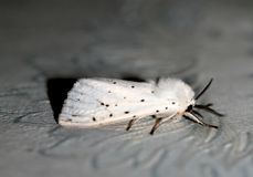 White fluffy moth. Insect flying butterfly Macro Stock Photos