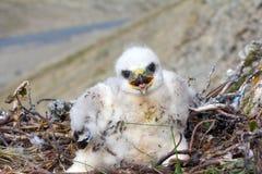 White fluffy nestling birds of prey Royalty Free Stock Photo