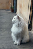 White fluffy persian cat sitting on the ground Royalty Free Stock Photos